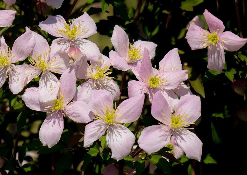 Piękne kwiaty powojnika górskiego clematis montana w czasie kwitnienia na różowo oraz odmiany i uprawa