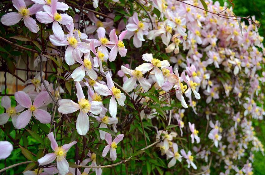 Powojnik górski clematis montana w okresie kwitnienia na jasnoróżowo oraz jego odmiany, uprawa i pielęgnacja w ogrodzie