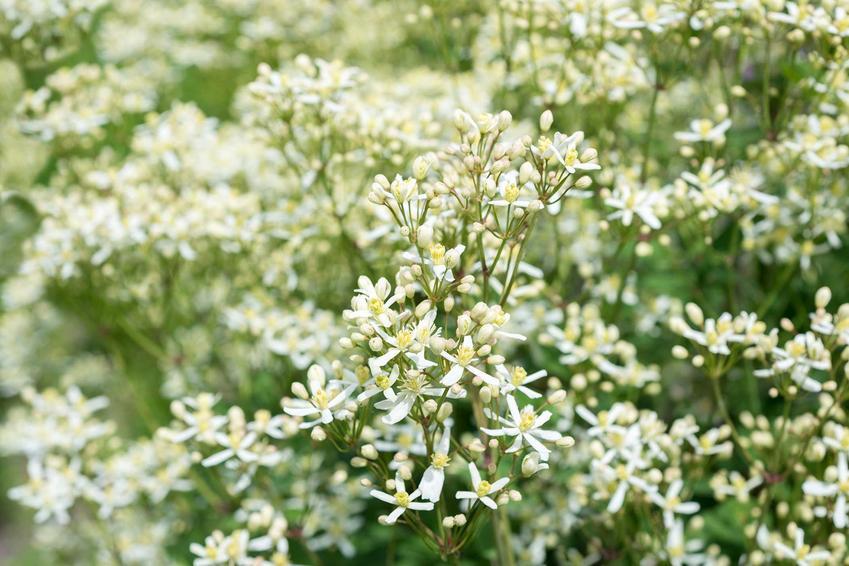 Powojnik mandżurski, inaczej clematis mandschurica w czasie kwitnienia oraz jego uprawa i pielęgnacja