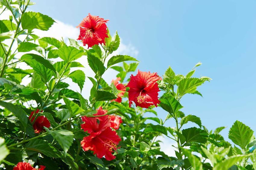 Hibiskus ogrodowy czyli inaczej róża chińska w czasie kwitnienia i wypuszczania czerwonych kwiatów, a także pielęgnacja i uprawa hibiskusa
