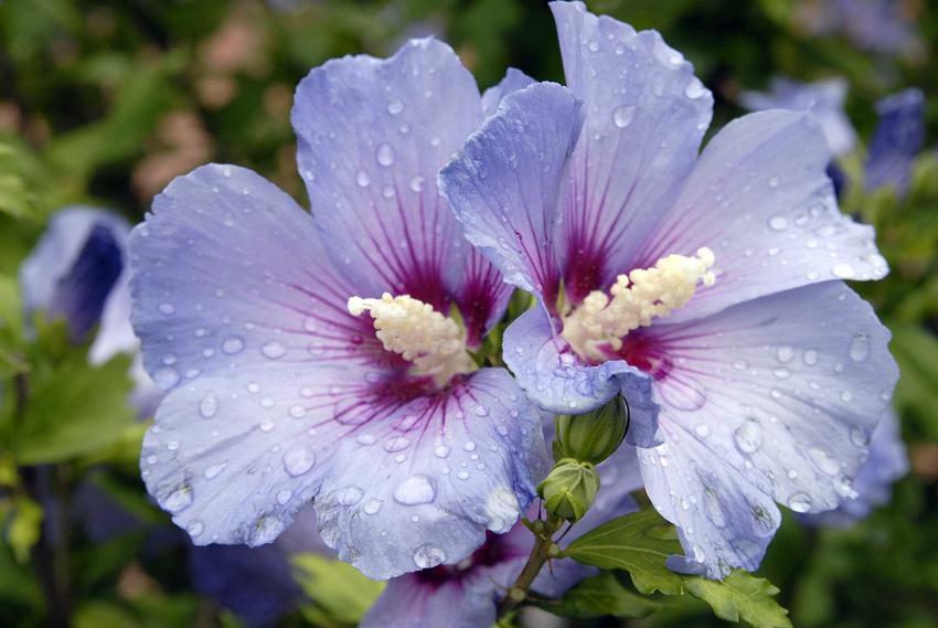 Hibiskus ogrodowy, czyli krzew ozdobny róża chińska w czasie kwitnienia. Wyeksponowany pojedynczy kwiat hibiskusa w ogrodzie