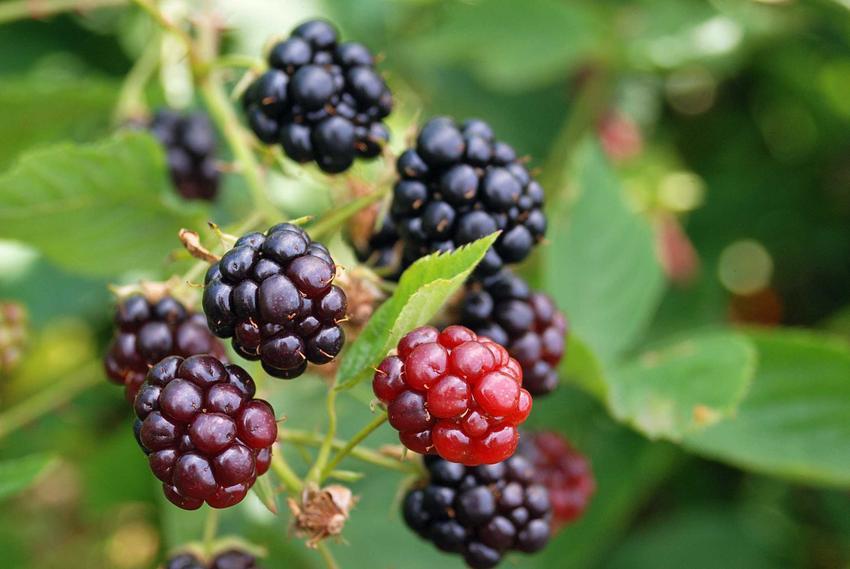 Owoce jeżyn na krzewie oraz przepis na nalewkę z jeżyn. Jeżynówka i jej właściwości zdrowotne, smak i najlepsze przepisy
