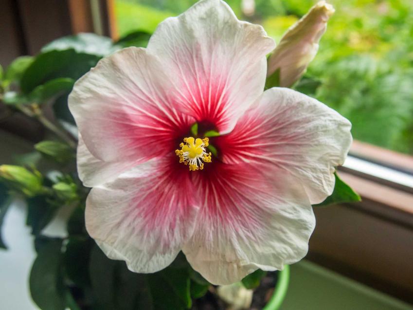 Ketmia róża chińska w czasie kwitnienia uprawiana w doniczce. Hibiscus rosa i zasady jej uprawy, pielęgnacja oraz sadzenie
