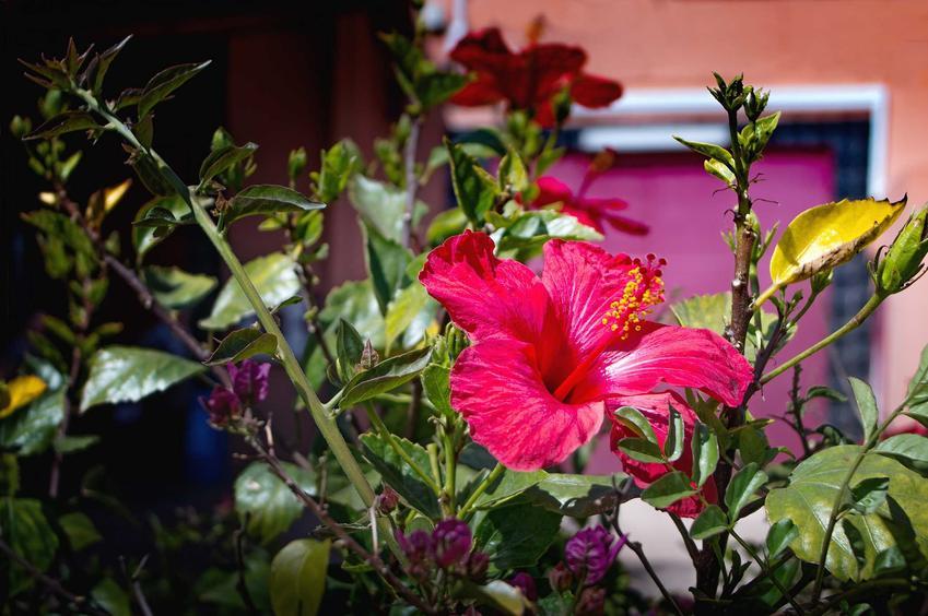 Ketmia róża chińska, czyli inaczej hibiscus rosa w czasie kwitnienia, który można uprawiać w doniczce i w ogrodzie