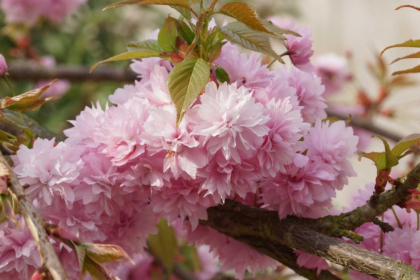 Kwiat wiśni piłkowanej, która określana jest też mianem wiśnia japońska. Uprawa i pielęgnacja drzewka ozdobnego