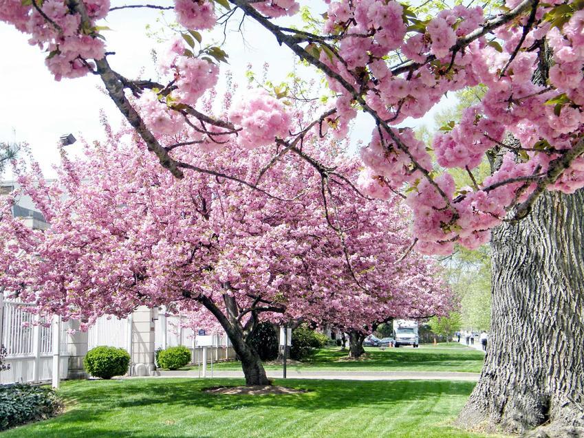 Wiśnia piłkowana czy też tak zwana wiśnia japońska w czasie kwitnienia oraz jej charakterystyka, uprawa oraz pielęgnacja