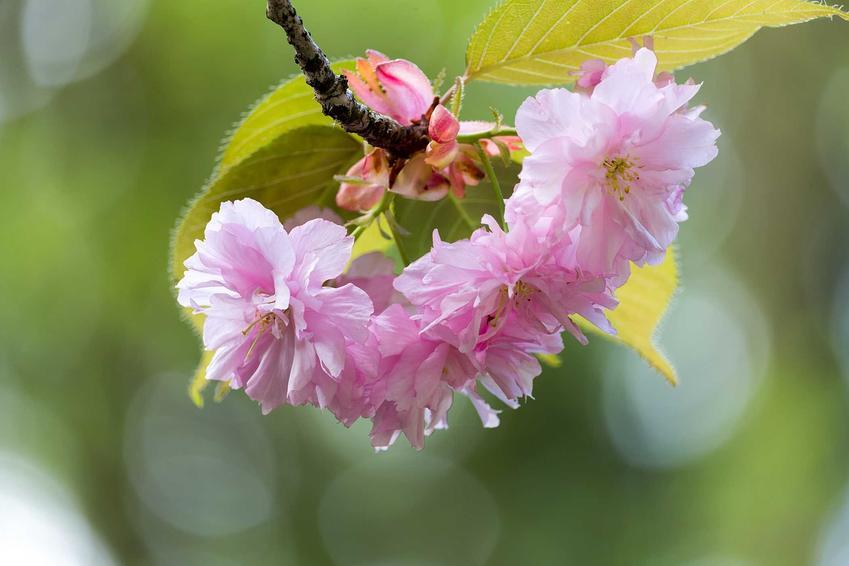 Wiśnia japońska jako wiśnia ozdobna i zbliżenie na jej piękne, różowe kwiaty. Uprawa drzewka ozdobnego