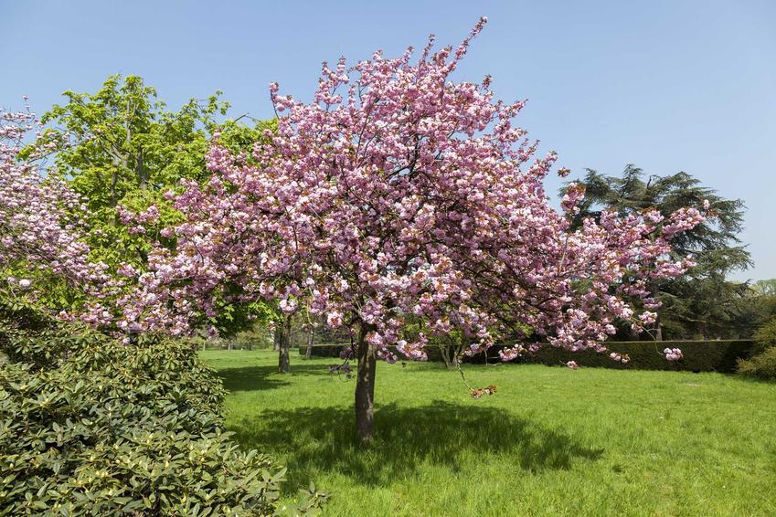 Wiśnia japońska jako interesująca wiśnia ozdobna w ogrodzie w czasie kwitnienia mnóstwem drobnych i różowych kwiatów oraz uprawa i pielęgnacja