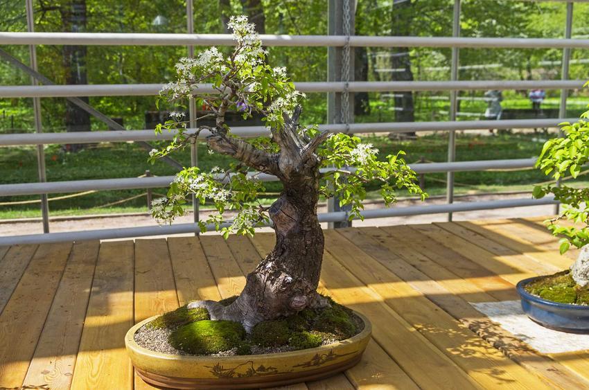 Wiśnia wonna, czyli tak zwana antypka prunus mahaleb prowadzona w formie drzewka bonsai na pniu najlepsza do ogrodu