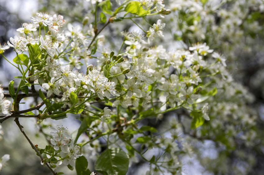 Wiśnia wonna, czyli tak zwana antypka lub z łaciny prunus mahaleb. Porady na temat uprawy i pielęgnacji.
