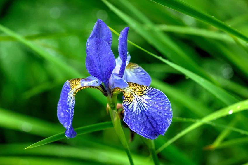 Kosaciec syberyjski, czyli inaczej tak zwany irys syberyjski w czasie kwitnienia, a także uprawa, pielęgnacja, zastosowanie