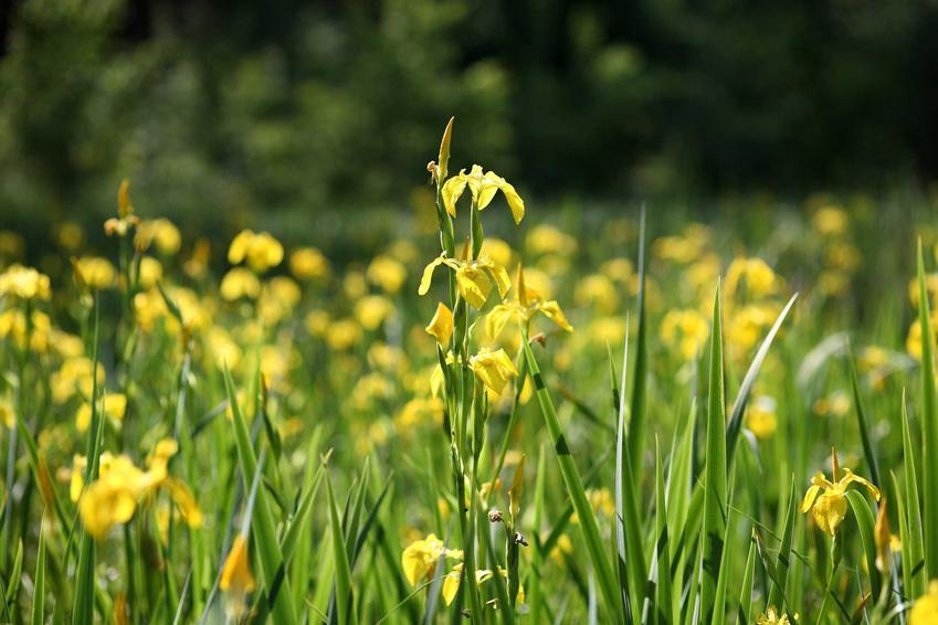 Kosaciec żółty czy też tak zwany irys żółty w czasie kwitnienia w twarzystwie kosaćców.  Porady na temat uprawy i pielęgnacji