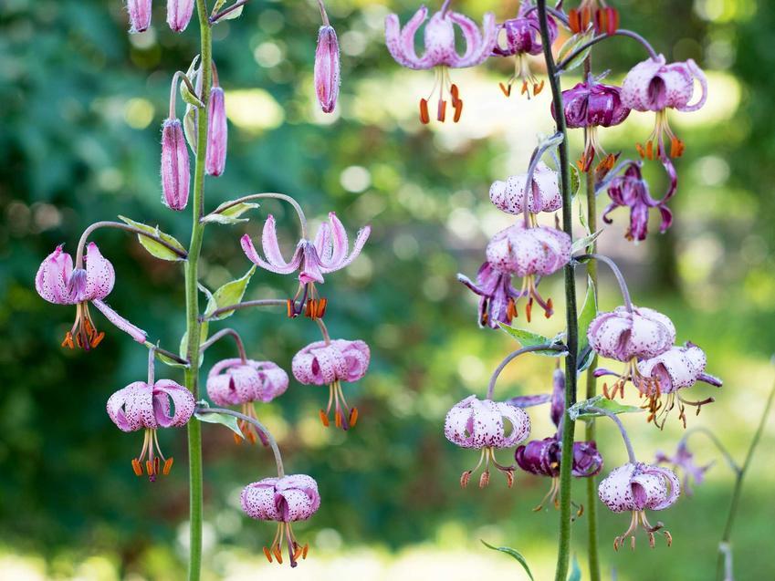 Lilia matragon czy też lilia złotogłów w ogrodzie w czasie kwitnienia. Porady na temat jej uprawy i pielęgnacji