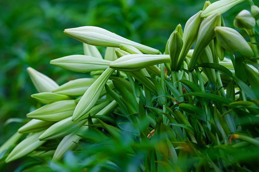 Zamknięta lilia biała, inaczej lilium candidum lub lilia św. Józefa w czasie kwitnienia oraz jej uprawa
