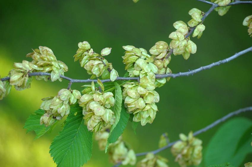 Wiąz szypułkowy, inaczej Ulmus leavis z widocznymi liścmi i nasionami na gałęziach jako ciekawe drzewo do ogrodu oraz jego pielęgnacja