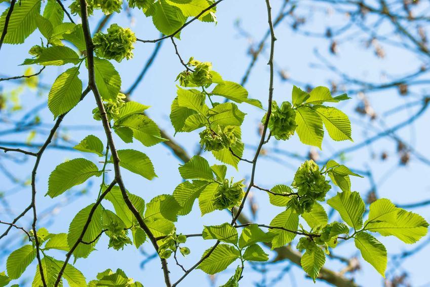 Wiąz szypułkowy, inaczej Ulmus leavis na tle błękitnego nieba jako doskonałe drzewo do ogrodu, a także jego pielęgnacja i sadzenie