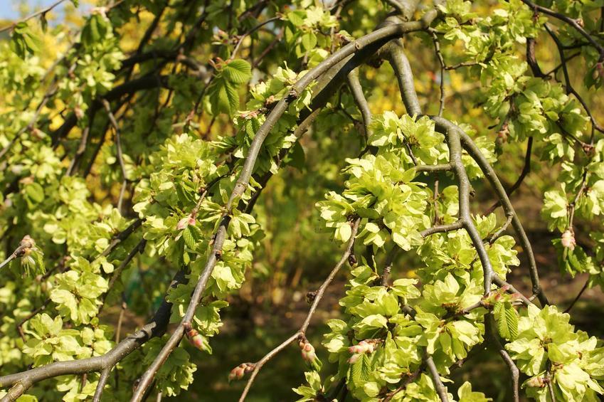 Wiąz górski, inaczej Ulmus glabra z wyeksponowaną koroną w ogrodzie. Warunki uprawy, stanowisko i pielęgnacja wiązu.