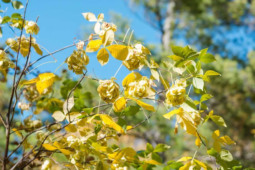 Wiąz holenderski, nazywany też wiąz wredei lub z łaciny Wlmus hollandica w czasie przebarwiania liści na żółto