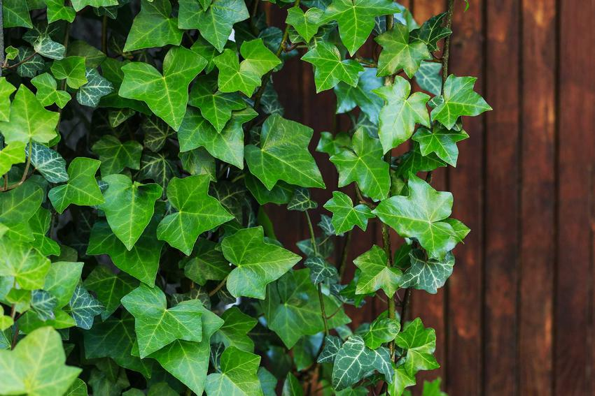 Bluszcze hedera, czyli inaczej hedera helix lub także bluszcz pospolity w ogrodzie. Porady na temat uprawy.