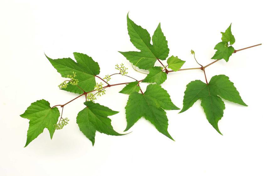 Winobluszcz trójklapowy, z łaciny Parthenocissus tricuspidata z wyeksponowanymi trójklapowymi liśćmi, a także jego uprawa