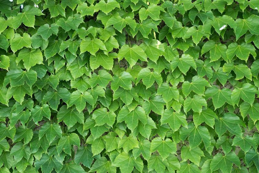 Winobluszcz trójklapowy, z łaciny Parthenocissus tricuspidata, który zielonymi liścmi pokrywa cały płot w ogrodzie