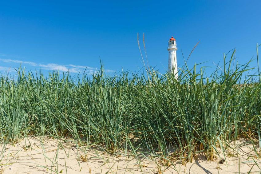 Turzyca piaskowa, z łaciny carex arenaria na wydmach, czyli kwiaty chronione na wydmach z latarnią morską w tle oraz opis rośliny