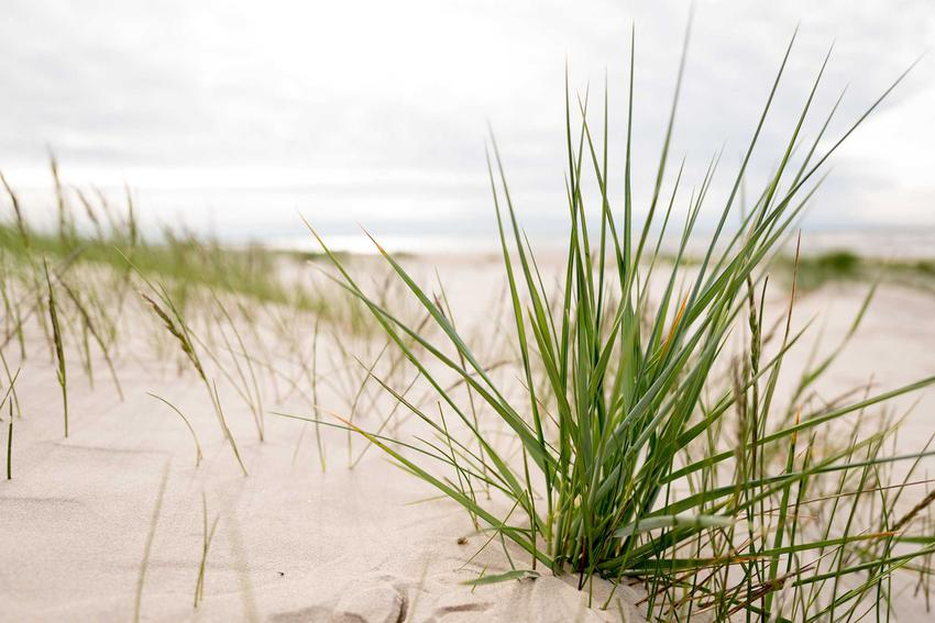 Turzyca piaskowa, z łaciny carex arenaria na wydmach, czyli kwiaty chronione na wydmach oraz opis rośliny