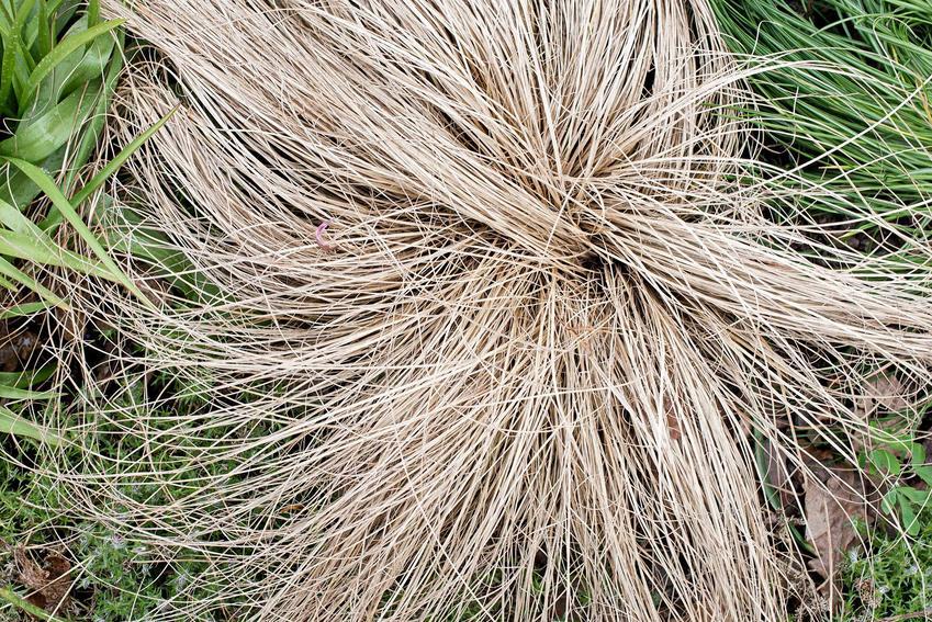 Turzyca włosista, z łaciny. carex comans to trawa ozdobna do ogrodu. Porady na temat jej uprawy i pielęgnacji
