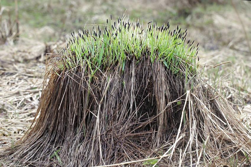 Turzyca pospolita, czyli inaczej carex nigra lub carex fusca jako propozycja na trawy ozdobne - uprawa i pielęgnacja