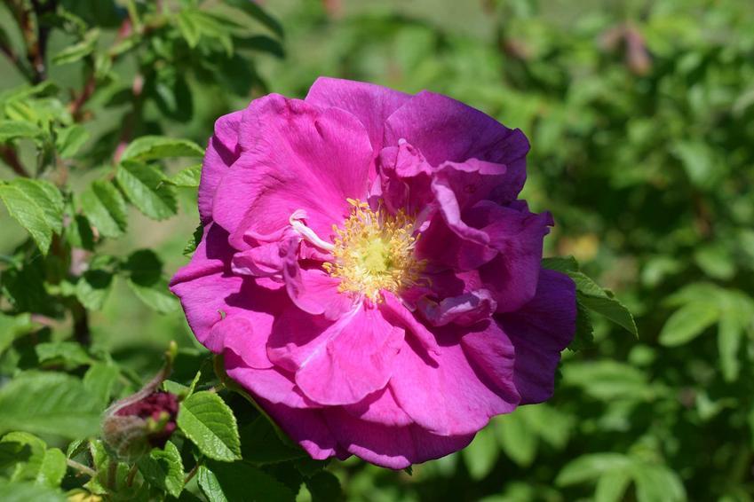 Róża pomarszczona w czasie kwitnienia oraz przepis na wino z róży pomarszczonej, najlepszy domowy przepis krok po kroku