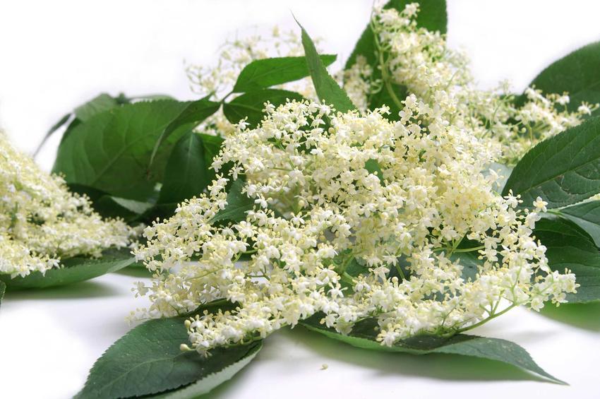 Kwiaty czarnego bzu oraz najlepszy przepis na wino z czarnego bzu, a dokładniej z kwiatów czarnego bzu