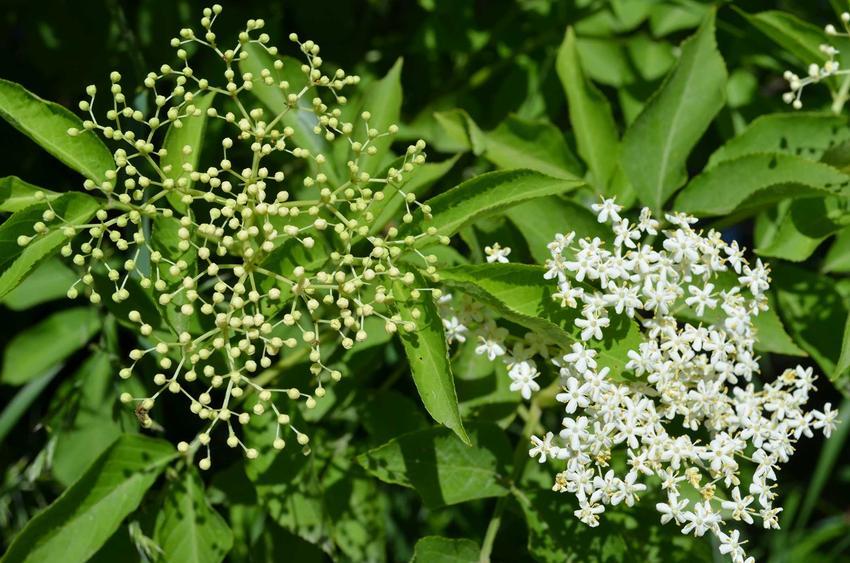 Kawiaty czarnego bzu w okresie kwitnienia oraz nalewka z kwiatu czarnego bzu i najlepsze przepisy na nalewkę z bzu