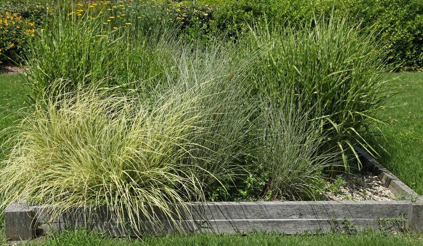 Miskant chiński Variegatus rozłozysty w ogrodzie oraz miskant Variegatus i zasady jego uprawy, a także pielęgnacji