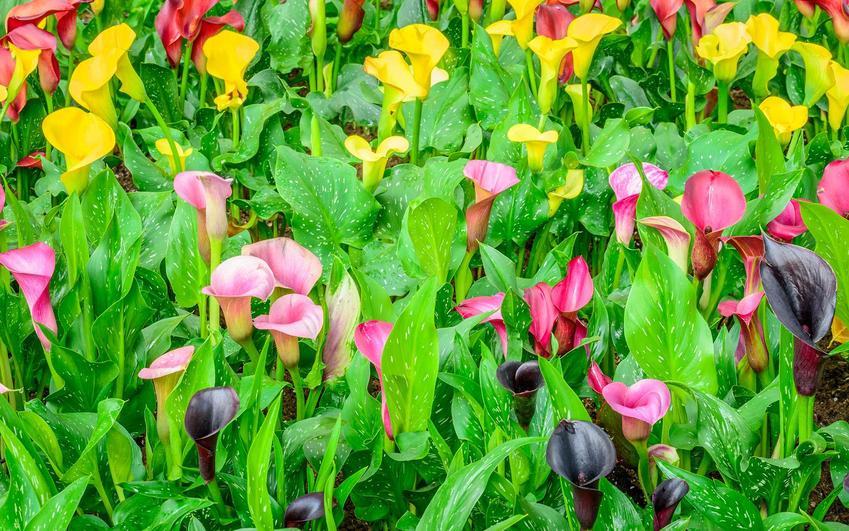 Kalia ogrodowa w czasie kwitnienia w ogrodzie na różne kolory oraz uprawa kalii ogrodowej i jej pielęgnacja