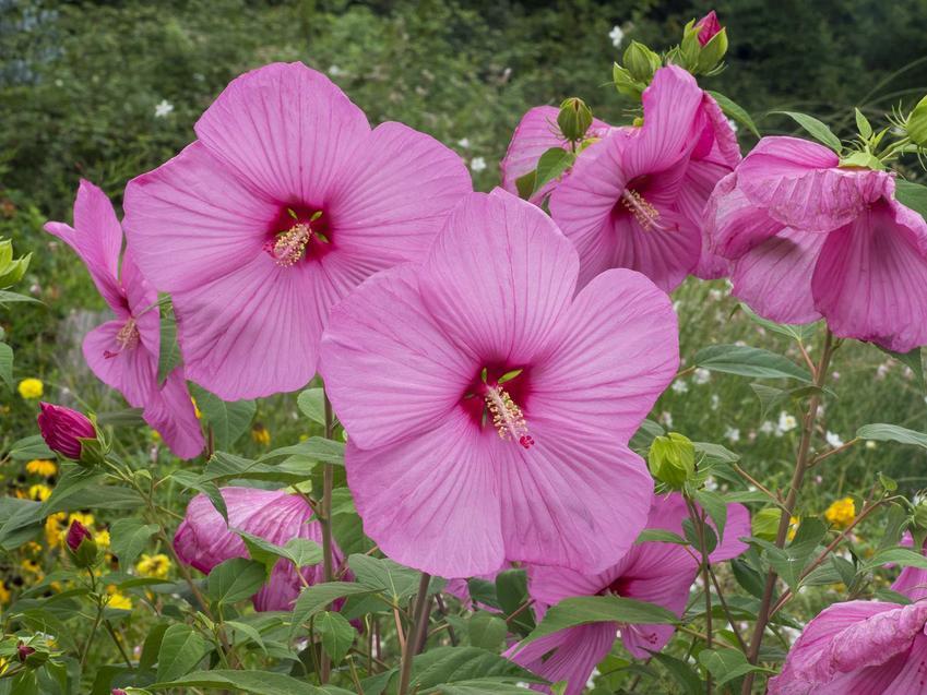 Hibiskus bylinowy czy też ketmia byliowa w okresie kwitnienia oraz jej uprawa i pielęgnacja w ogrodzie
