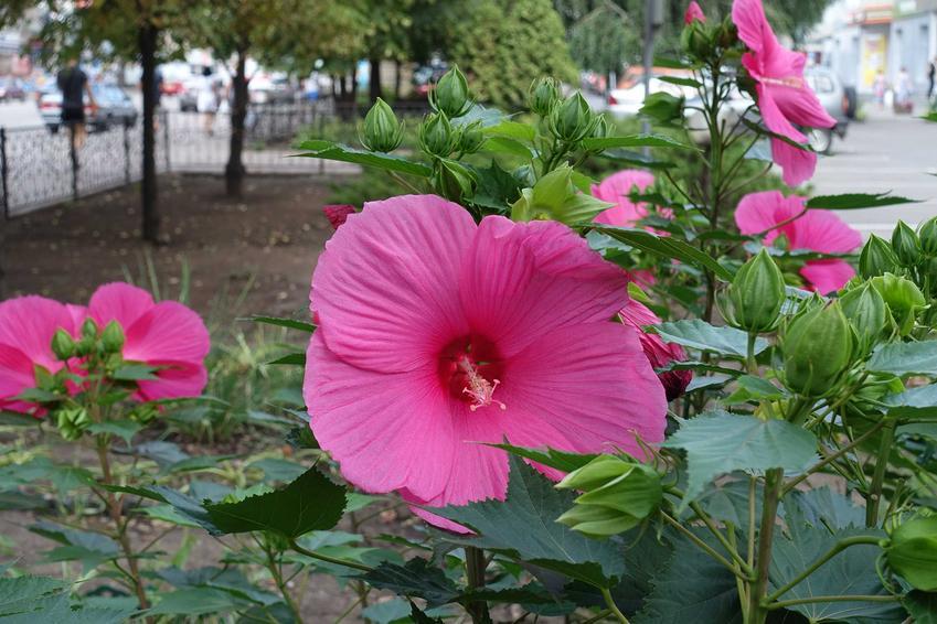 Hibiskus bagienny czy też hibiskus błotny w czasie kwitnienia na różowo oraz jego uprawa i pielęgnacja