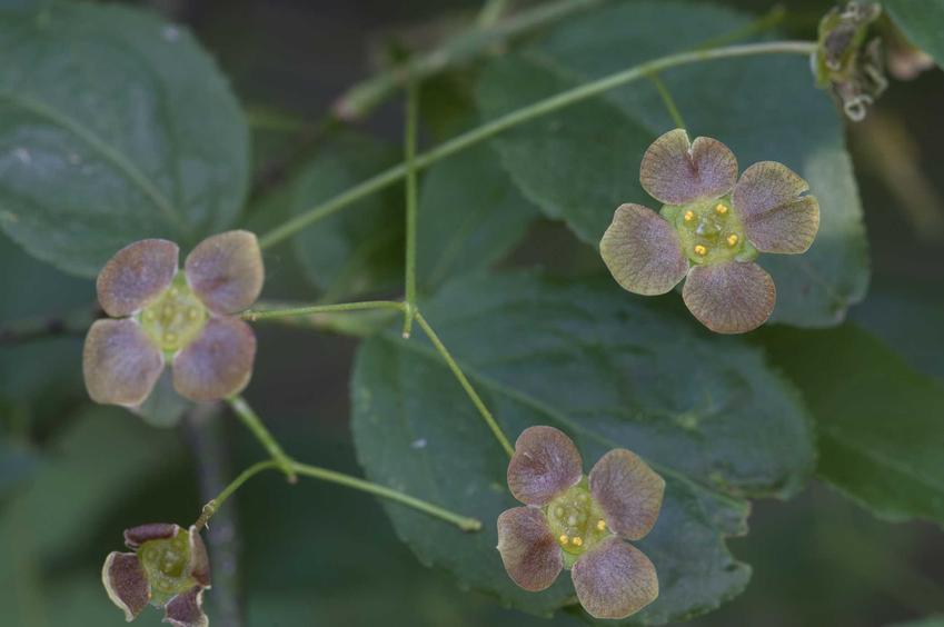 Trzmielina brodawkowata Euonymus verrucosa w czasie kwitnienia oraz jej uprawa, a także pielęgnacja w ogrodzie