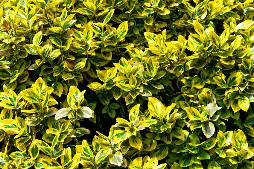 Trzmielina Emerald Gold, czyli trzmielina żółta jako krzew ozdobny w ogrodzie oraz jego uprawa i pielęgnacja