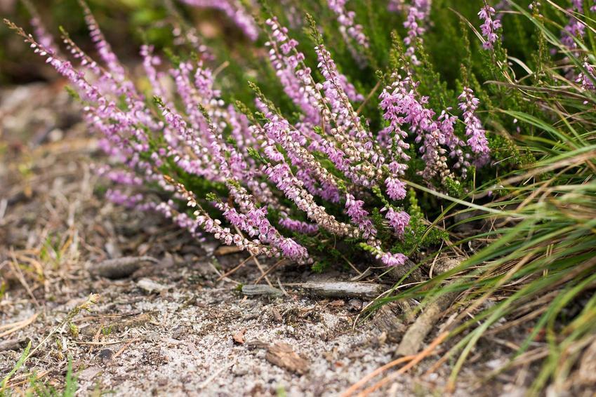 Fioletowe wrzosy w ogrodzie oraz porady, jak uprawiać wrzosy w ogrodzie oraz jak pielęgnować wrzosy