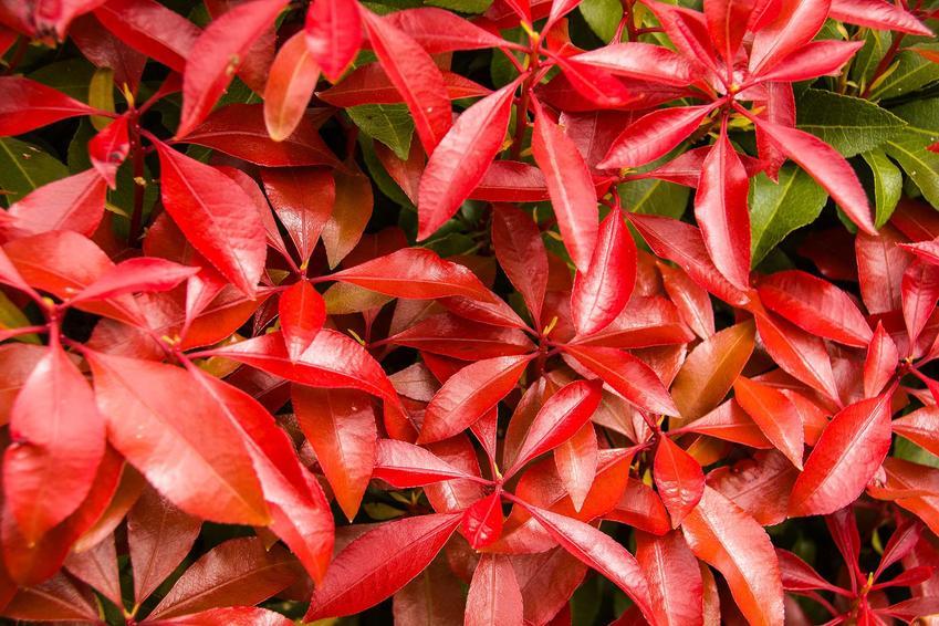 Pieris japonica pieris japoński, jakim jest pieris Mountain Fire w czasie wybarwienia liści na czerwono