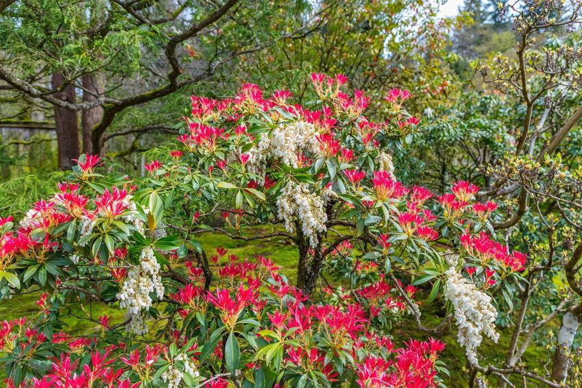 Pieris japoński, jakim jest pieris Forest flame w czasie kwitnienia oraz zasady jego uprawy i pielęgnacji