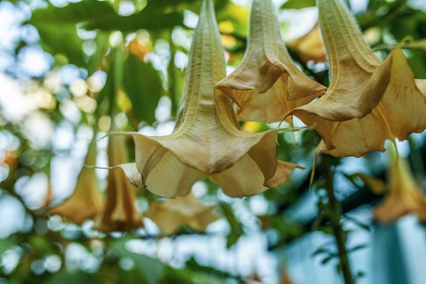 Bieluń drzewiasty, inaczej datura drzewiasta w czasie kwitnienia w ogrodzie oraz zasady jej uprawy oraz pielęgnacja i podlewanie w ogrodzie