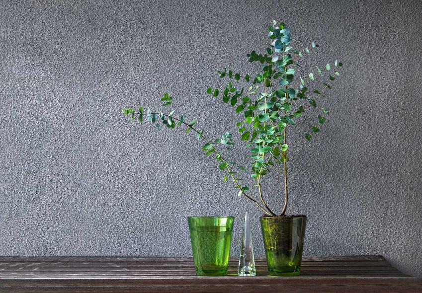 Eukaliptus niebieski, czyli drzewko eukaliptus gunni w przezroczystej, zielonej doniczce oraz porady i uprawa oraz pielęgnacja eukaliptusa