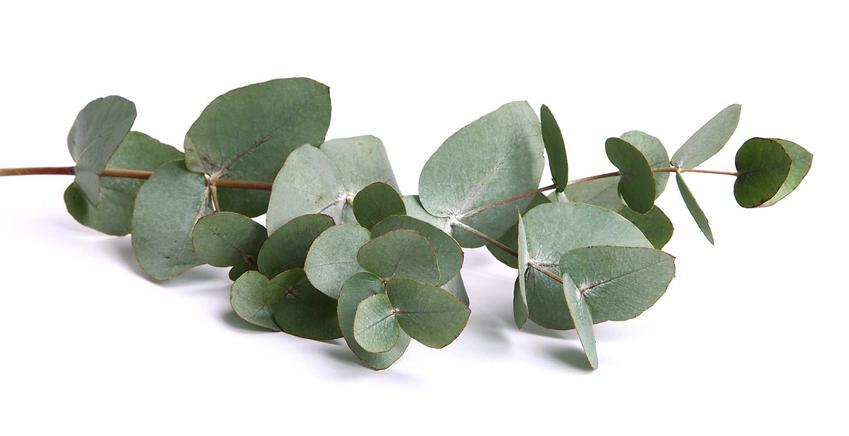 Eukaliptus niebieski gunni w postaci uciętej gałązki oraz porady, jak uprawiać drzewko eukaliptusowe krok po kroku