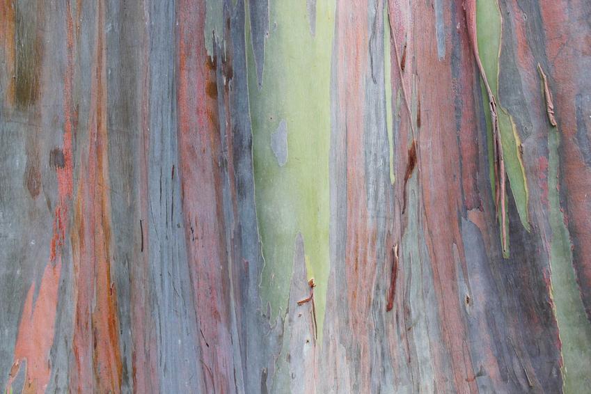 Eukaliptus tęczowy z łaciny Eucalyptus deglupta z wyeksponowaną kolorową korą - warunki uprawy, wymagania, stanowisko, pielegnacja - porady
