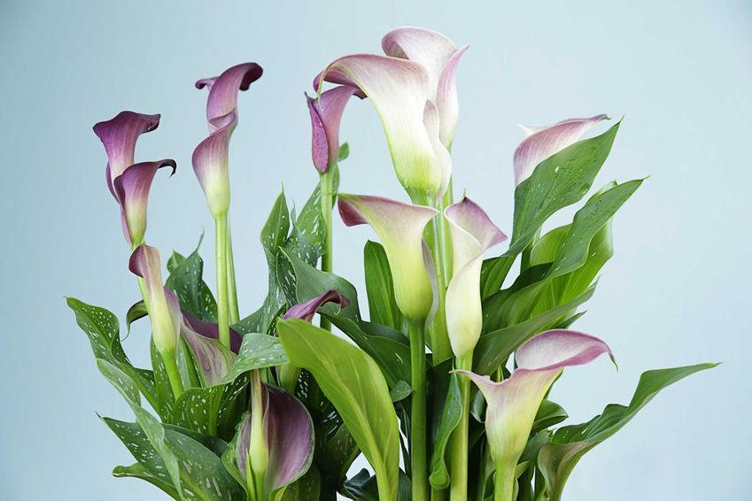 Kwiat kalia doniczkowa, czyli kalla uprawiana w doniczce oraz informacje: uprawa, pielęgnacja i nawożenie krok po kroku