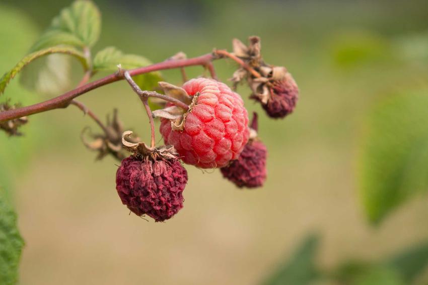 Choroby malin oraz szkodniki malin, które doprowadziły do obumierania owoców oraz sposoby na ich zwalczanie
