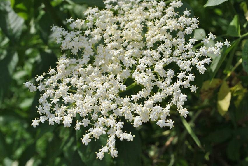 Kwiat czarnego bzu w czasie kwitnienia jako składnik na syrop z kwiatu czarnego bzu oraz najlepsze przepisy