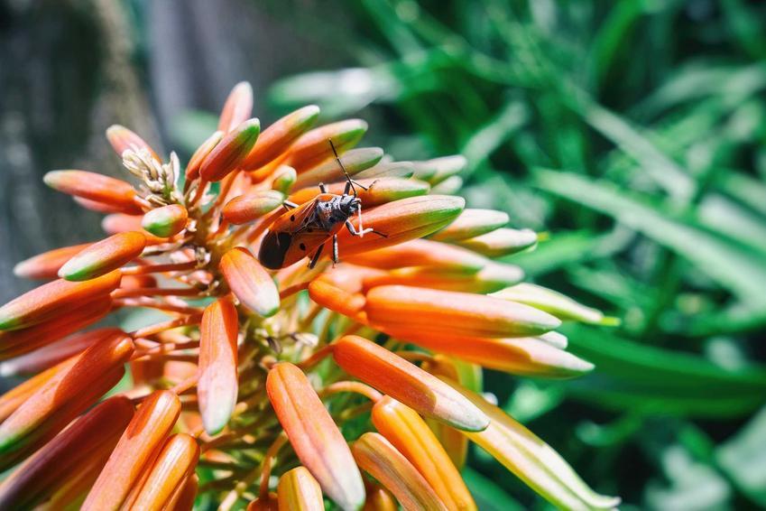 Trytoma ogrodowa z owadem, czyli kwiat trytoma i jego uprawa, sadzenie i wysiew nasion, a także pielęgnacja krok po kroku