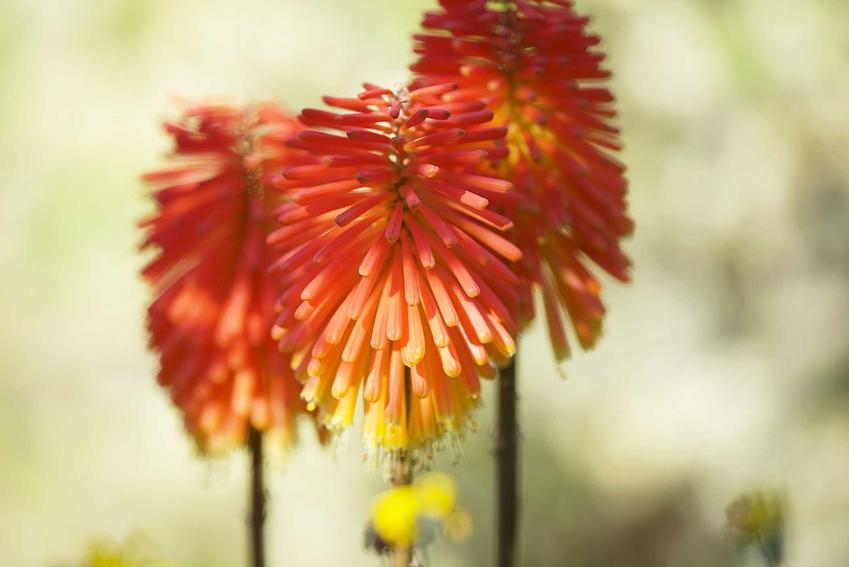 Trytoma ogrodowa w czasie kwitnienia na pomarańczowo oraz kwiat trytoma i jego uprawa, a także pielęgnacja i podlewanie